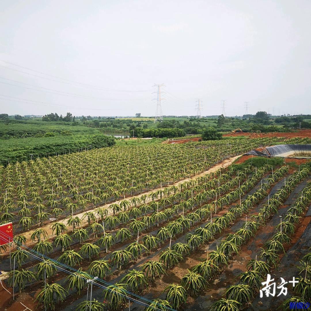 湛江那仙村:火龙果里的产业致富经